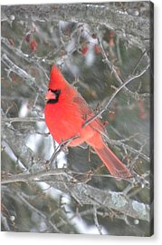 Picture Perfect Cardinal Acrylic Print