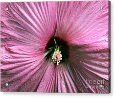 Pie Plate Hibiscus Acrylic Print by Nina Silver