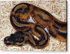 Piebald Royal Python Acrylic Print