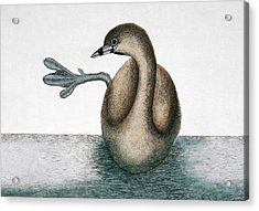 Pied-billed Grebe Acrylic Print by Natural History Museum, London