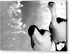 Pied Cormorants Acrylic Print