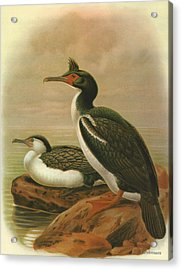 Pied Shag And Chatham Island Shag Acrylic Print by Rob Dreyer