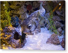 Puffer Fish Swimming Acrylic Print