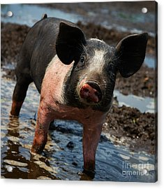 Pig In The Mud Acrylic Print
