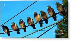 Pigeon Beauty Pageant  Acrylic Print