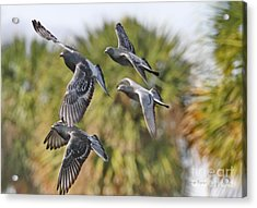 Pigeon Brigade Acrylic Print by Deborah Benoit