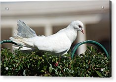 Pigeon Acrylic Print by Dave Dos Santos
