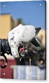Pigeon Drinking Water At The City Of Rhodes Acrylic Print