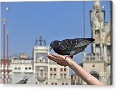 Pigeon Eating On Hand Acrylic Print by Sami Sarkis