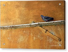 Pigeon On Ochre Wall Acrylic Print by Sami Sarkis