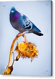 Acrylic Print featuring the photograph Pigeon On Sunflower by Bob Orsillo