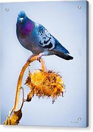 Pigeon On Sunflower Acrylic Print