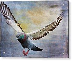 Pigeon On Wing Acrylic Print by Deborah Benoit