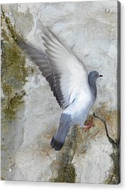 Pigeon Spreading Wings For Takeoff Acrylic Print by Noreen HaCohen
