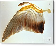 Pigeon Wing Acrylic Print by Biophoto Associates