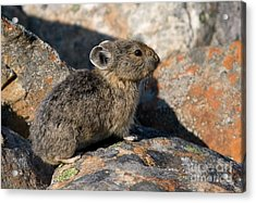 Acrylic Print featuring the photograph Pika And Lichen by Chris Scroggins