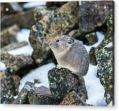 Pika In The Park Acrylic Print