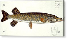 Pike Acrylic Print by Andreas Ludwig Kruger