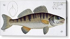 Pike Perch Acrylic Print by Andreas Ludwig Kruger