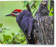 Pileated Stare Acrylic Print