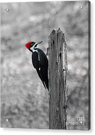 Acrylic Print featuring the photograph Pileated Woodpecker by Anita Oakley