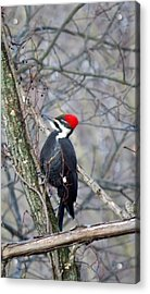 Pileated Woodpecker Acrylic Print by Diane Mitchell