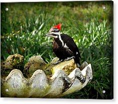 Pileated Woodpecker II Acrylic Print by Lynn Griffin