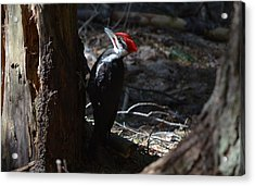 Pileated Woodpecker Acrylic Print by James Petersen