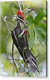 Pileated Woodpecker Acrylic Print