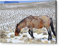 Pilot Butte Wild Horse Acrylic Print