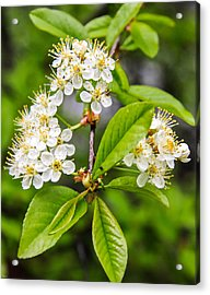 Pin Cherry Blossoms Acrylic Print by Susan Crossman Buscho