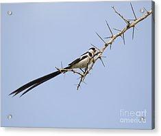 Pin-tailed Whydah  Vidua Macroura Acrylic Print by Liz Leyden