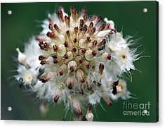 Pincushion Daisy Going To Seed Acrylic Print by Susan Schroeder