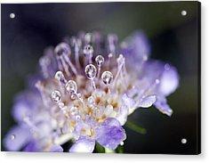 Pincushion Drops Acrylic Print