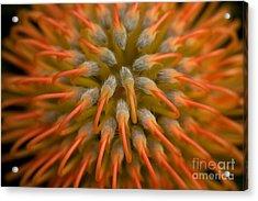 Pincushion Protea Acrylic Print by Julia Hiebaum