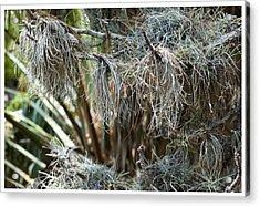 Pine 0094 Acrylic Print