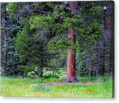 Pine At Rocky Mountain National Acrylic Print by Larry Capra