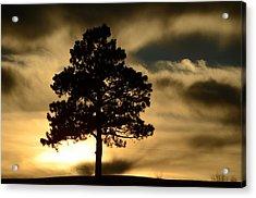 Pine At Sundown Acrylic Print