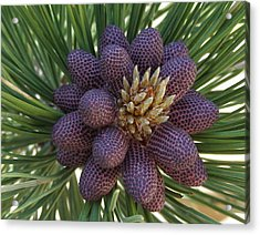 Pine Birth  Acrylic Print