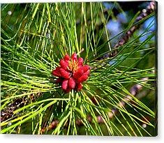 Pine Bud Acrylic Print
