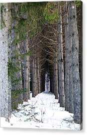 Pine Cathedral Acrylic Print