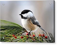 Pine Chickadee Acrylic Print by Christina Rollo