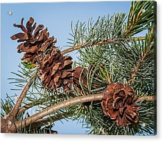 Acrylic Print featuring the photograph Pine Cones by Len Romanick