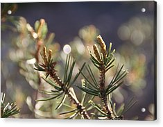 Acrylic Print featuring the photograph Pine by David S Reynolds