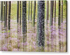 Pine Forest And Heather Cairngorms Np Acrylic Print by Sebastian Kennerknecht