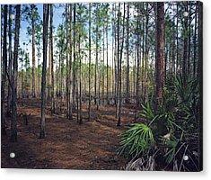 Pine Forest II. Split Oak. Acrylic Print