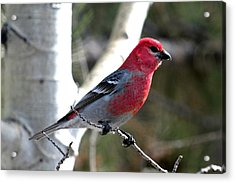 Pine Grosbeak Acrylic Print by Marilyn Burton