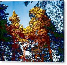 pine  Leif Sohlman Acrylic Print by Leif Sohlman