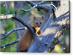 Acrylic Print featuring the photograph Pine Martin by Shane Bechler