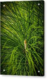 Pine Needles Acrylic Print by Marvin Spates